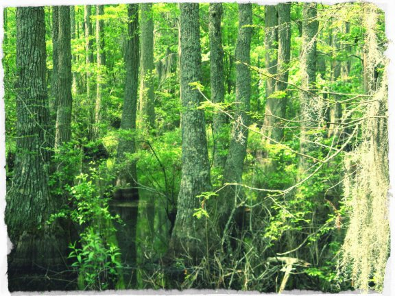 Virginia bald cypress marsh